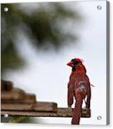 Male Cardinal Bird Closeup Acrylic Print