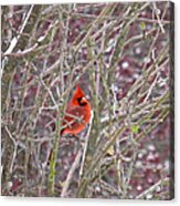 Male Cardinal Cold Day 2 Acrylic Print