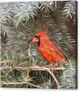 Male Cardinal In Spruce Tree Acrylic Print
