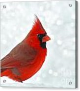 Male Cardinal In The Snow - Digital Paint Acrylic Print