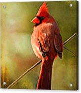 Male Cardinal In The Sun - Digital Paint Acrylic Print