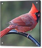 Male Cardinal Acrylic Print by John Kunze