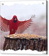 Male Cardinal Landing  Acrylic Print
