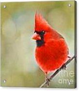 Male Cardinal On Angled Twig - Digital Paint Acrylic Print
