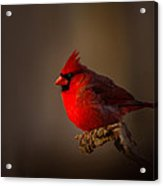 Male Cardinal Subdued Forest Background Acrylic Print