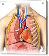 Male Chest Anatomy Of Thorax Acrylic Print