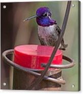 Male Costa Hummingbird Acrylic Print