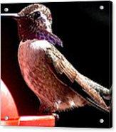 Male Costa Hummingbird On Perch Acrylic Print