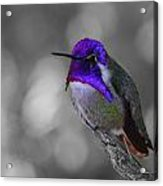 Male Costa's Hummingbird Acrylic Print by Old Pueblo Photography