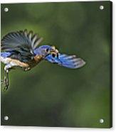 Male Eastern Bluebird Acrylic Print