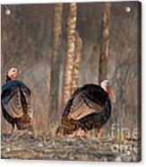 Male Eastern Wild Turkeys Acrylic Print by Linda Freshwaters Arndt