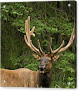 Male Elk, Bow Valley Parkway, Banff Acrylic Print