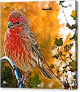 Male Finch In Autumn Leaves Acrylic Print