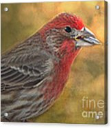 Male Finch With Seed Acrylic Print