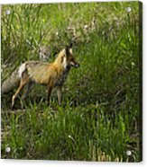Male Fox   #3521 Acrylic Print