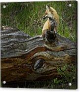 Male Fox   #3575 Acrylic Print