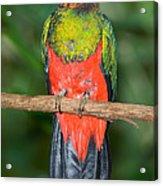 Male Golden-headed Quetzal Acrylic Print