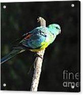 Male Grass Parrot Acrylic Print