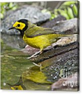 Male Hooded Warbler Acrylic Print