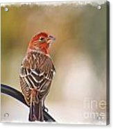 Male House Finch - Digital Paint And Frame Acrylic Print