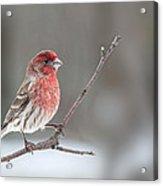 Male House Finch Acrylic Print