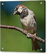 Male House Sparrow Perched In A Tree Acrylic Print