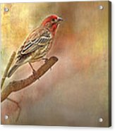Male Housefinch Looking Up Acrylic Print