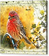 Male Housefinch Photoart Acrylic Print