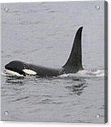 Male Killer Whale Acrylic Print