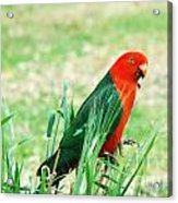 Male King Parrot  Acrylic Print