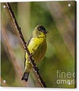 Male Lesser Goldfinch Acrylic Print