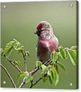 Male Lesser Redpoll  Carduelis Cabaret Acrylic Print
