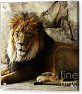 Male Lion At Rest Acrylic Print