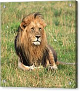 Male Lion On The Masai Mara Acrylic Print by Aidan Moran