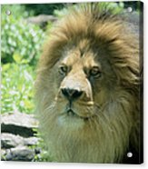 Male Lion Up Close Acrylic Print
