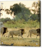 Male Lions At Dawn, Moremi Game Acrylic Print