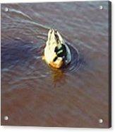 Male Mallard Duck Acrylic Print