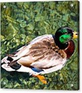 Male Mallard Swimming Acrylic Print