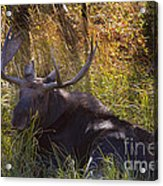Male Moose   #3865 Acrylic Print