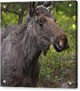 Male Moose   #5696 Acrylic Print