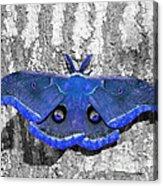 Male Moth - Brilliant Blue Acrylic Print