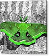 Male Moth Green Acrylic Print by Al Powell Photography USA