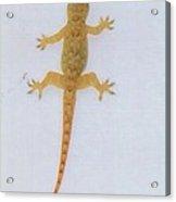 Male Nocturnal Lizard Acrylic Print