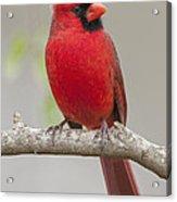 Male Northern Cardinal In January Acrylic Print