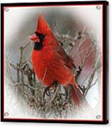 Male Northern Cardinal Acrylic Print by John Kunze