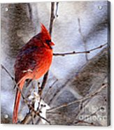 Male Northern Cardinal Oil Paint Effect Acrylic Print