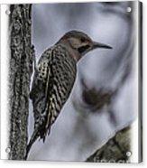 Male - Northern Flicker Acrylic Print