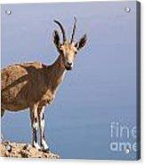 Male Nubian Ibex 1 Acrylic Print