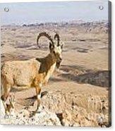 Male Nubian Ibex Capra Ibex Nubiana 1 Acrylic Print