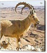 Male Nubian Ibex Capra Ibex Nubiana Acrylic Print